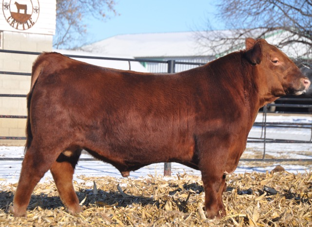 Red Angus Cattle in MN - Koedam Cattle Co